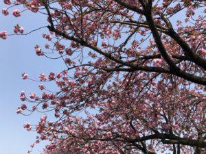 桜 八重桜 201804