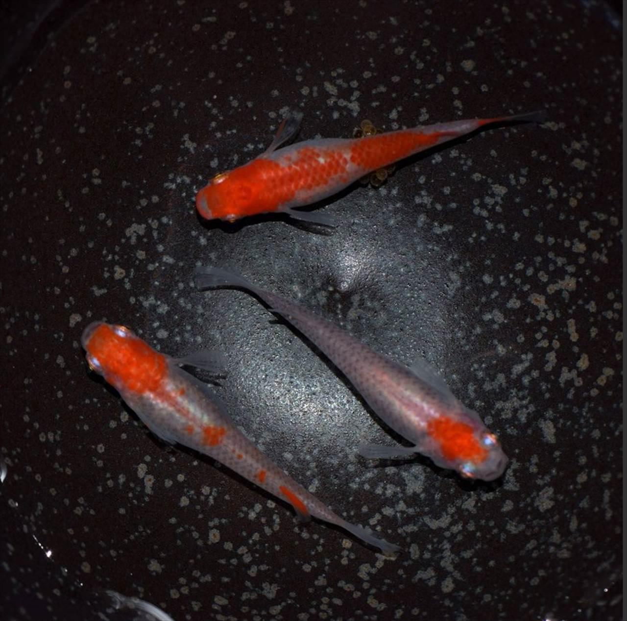メダカ 更紗 紅白 稚魚 通販